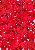 Red Poinsettia - background. Christmas red poinsettias background over white royalty free stock photos