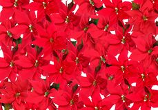 Red Poinsettia - background Royalty Free Stock Image
