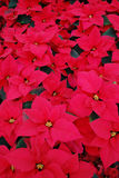 Red Poinsettia background Stock Image
