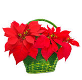 Red poinsettia in basket Stock Photo