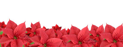 Red poinsettia, border. Red poinsettia isolated on a white background, border royalty free stock photography
