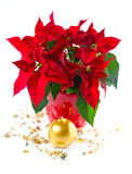 Red poinsettia. christmas flower Stock Image