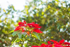 Red Poinsettia Christmas flower Background. Beautiful Bokeh royalty free stock photography