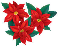 Red Poinsettia christmas flower Stock Photography