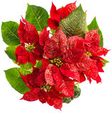 Red poinsettia. christmas flower isolated on white Stock Images