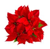Red poinsettia Christmas flower isolated white background. Red poinsettia. Christmas flower isolated on white background. Top view royalty free stock images