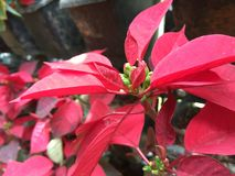 Red Poinsettia christmas flower royalty free stock image