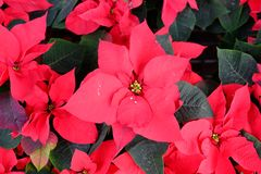 Red Poinsettia Christmas flower. Outdoor red Poinsettia sales in street market, Bangkok, Thailand royalty free stock image