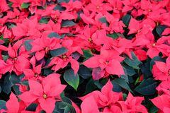 Red Poinsettia Christmas flower. Outdoor red Poinsettia sales in street market, Bangkok, Thailand royalty free stock images