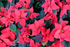 Red Poinsettia Christmas flower. Outdoor red Poinsettia sales in street market, Bangkok, Thailand stock photography
