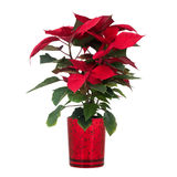 Red poinsettia Royalty Free Stock Photos