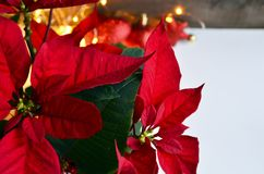 Red Poinsettia Christmas plant.Poinsettia Euphorbia Pulcherrima flowers close up. Christmas star or Star of Bethlehem plant as a background for winter holidays stock photography