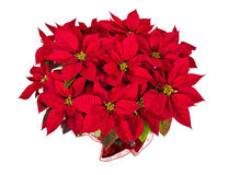 Red poinsettia or Christmas star flower Royalty Free Stock Photos