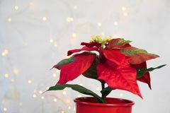 Red poinsettia. Christmas traditional flower on light backround stock image