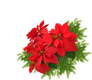 Red poinsettia with christmas tree branch royalty free stock photo