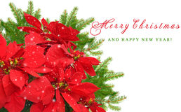 Red poinsettia and christmas tree branch Stock Images