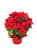 Red poinsettia (Euphorbia pulcherrima) Royalty Free Stock Images