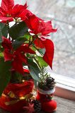 Red Poinsettia Euphorbia Pulcherrima in a flower pot with garland lights on the window. Winter festive decoration with Christmas star or Star of Bethlehem stock images