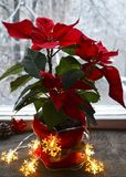 Red Poinsettia Euphorbia Pulcherrima in a flower pot with garland lights on the window. Winter festive decoration with Christmas star or Star of Bethlehem stock photos