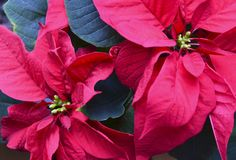 Red Poinsettia Euphorbia Pulcherrima flowers close up. Christmas star or Star of Bethlehem plant as a background for winter holi. Days.Selective focus royalty free stock photography
