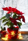 Red Poinsettia Euphorbia Pulcherrima flowers on a snowy window background. Christmas star or Star of Bethlehem plant as a background for winter holidays stock images