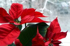 Red Poinsettia Euphorbia Pulcherrima flowers on a snowy window background. Christmas star or Star of Bethlehem plant as a background for winter holidays stock photos