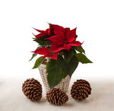 Red poinsettia Euphorbia pulcherrima  and three pine cones Stock Image