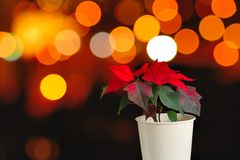 Red Poinsettia flower royalty free stock image