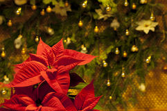 Red poinsettia flower against Christmas decoration Royalty Free Stock Photography