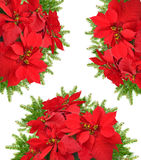 Red poinsettia flower with beautiful christmas tree branch. On white background Stock Photo