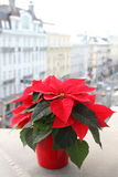 Red Poinsettia flower in bloom. Red poinsettia flower blooming on balcony in city with urban streets in background Stock Image