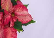 Red poinsettia flower Christmas card. Red poinsettia flower, Euphorbia pulcherrima, Christmas card with white background stock image