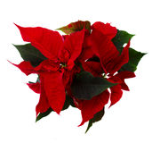 Red poinsettia flower -  christmas star Stock Photo