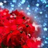 Red  poinsettia flower or christmas star Royalty Free Stock Photo