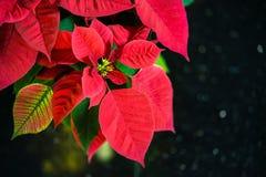 Red Poinsettia flower, Christmas Star Royalty Free Stock Photos