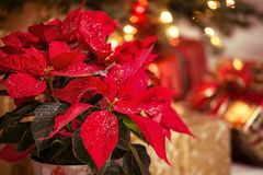 Red Poinsettia flower, Christmas Star. Red Poinsettia Euphorbia pulcherrima, Christmas Star flower, with decorative snowflakes on the leaves. Festive red and stock photography