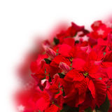 Red poinsettia flower or christmas star Royalty Free Stock Photos