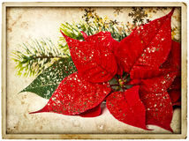 Red poinsettia flower with christmas tree branch Stock Image