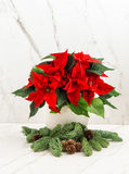 Red poinsettia flower with christmas tree branches Royalty Free Stock Photos