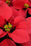 Red poinsettia flower closeup Royalty Free Stock Photos