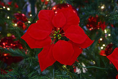 Red Poinsettia Flower on a decor Christmas Tree Royalty Free Stock Photos