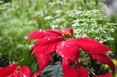 Red Poinsettia. Flower in dew drops stock image
