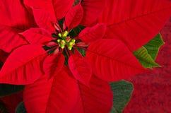 Red poinsettia flower. (Euphorbia pulcherrima), closeup stock photo
