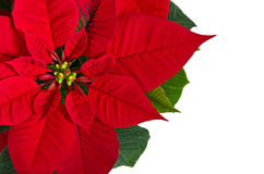 Red poinsettia flower Royalty Free Stock Photo