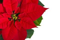 Red poinsettia flower. (Euphorbia pulcherrima), copy space royalty free stock photo