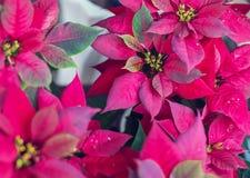 Poinsettia Flower, Euphorbia Pulcherrima, Nochebuena garden stock image