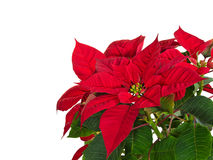 Red poinsettia flower. (Euphorbia pulcherrima) over white, copy space stock photography