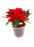 Red Poinsettia flower in glass pot Royalty Free Stock Photo