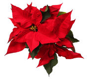 Red poinsettia flower isolated. Christmas Flowers Royalty Free Stock Image
