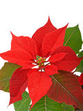 Red poinsettia flower Royalty Free Stock Photography